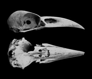raven-skull